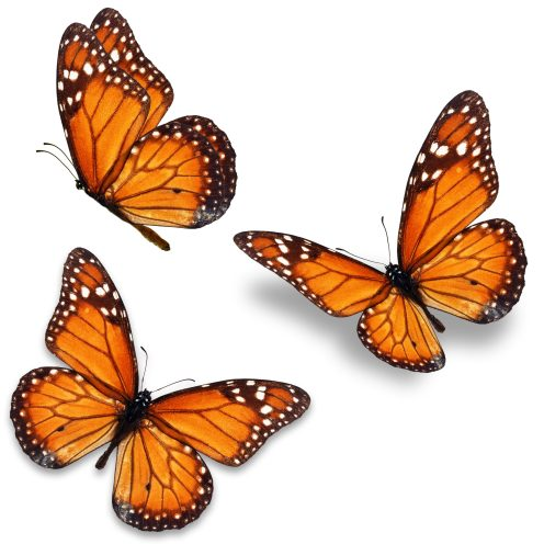 Kim Savino of Start Seeing Monarchs hosts a hands-on presentation to help you understand and recognize the monarch butterfly is all stages of development on Wednesday, June 6 at 6:30 p.m. in the Public Meeting Room of the Riverside Public Library, 1 Burling Road.