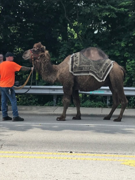 North Riverside celebrated the Fourth of July with its annual parade last week - which featured a star turn by Doofus the Camel, who was a hit with the crowd that lined the parade route and the party in the park afterward. Doofus generally stayed on course, except for a brief off-track saunter near 8th Avenue. | Submitted