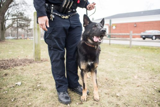 K9 officer Sire looks around in the field at Kiwanis Park on Dec. 13, outside of the Brookfield Police Department in Brookfield. | Alexa Rogals/Staff Photographer