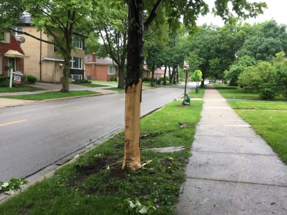 The impact of the crash stripped the bark from the east side of this maple tree in front of 100 E. Burlington St. (Bob Uphues | Staff)