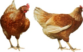 "Brookfield Public Library, 3609 Grand Blvd., presents ""Backyard Chickens in Brookfield"" on March 11 at 7 p.m."