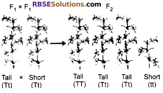 RBSE Solutions for Class 10 Science Chapter 3 Genetics image - 2