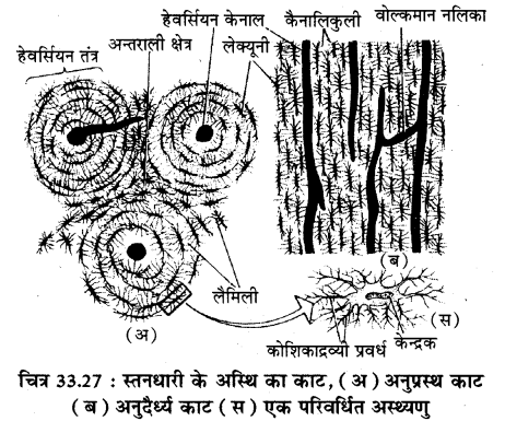 RBSE Solutions for Class 11 Biology Chapter 33 जन्तु ऊतक