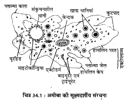 RBSE Solutions for Class 11 Biology Chapter 34 अमीबा
