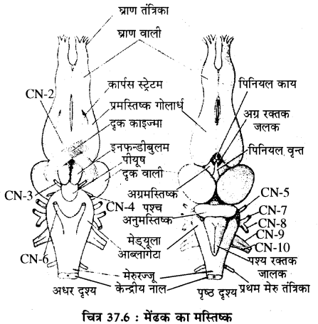 RBSE Solutions for Class 11 Biology Chapter 37 मेंढक