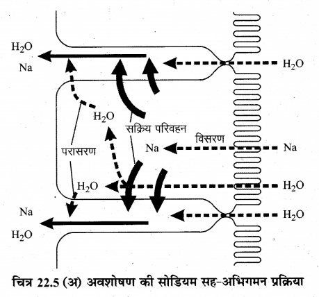 RBSE Solutions for Class 12 Biology Chapter 22 मानव का पाचन तंत्र 18