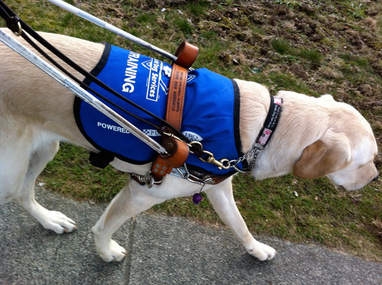 Photograph of a BC Guide Dog Service dog