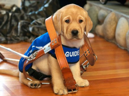 Photograph of Luke - one of the BC Guide Dog Service dogs