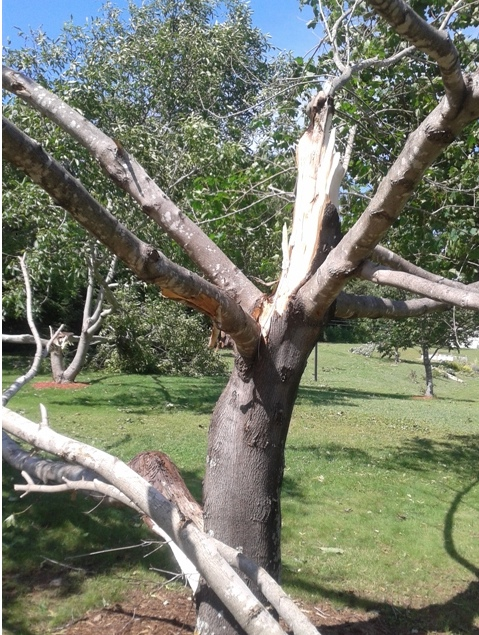 Photograph of a tree hit by lightening - taken by Phil Juby (Source of photo - Phil Juby).