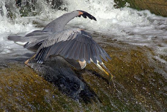 Photograph of a Grey Heron taken at Consecon Ontario by Harold Feiertag (Source of photo - Harold Feiertag).
