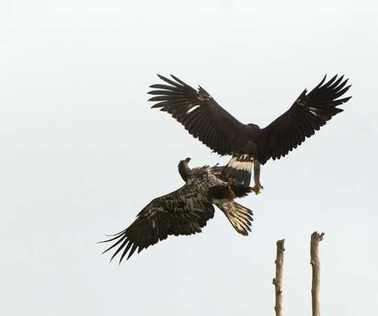 Photograph of battle between a golden eagle and a bald eagle (Source of photo - Harold Feiertag).