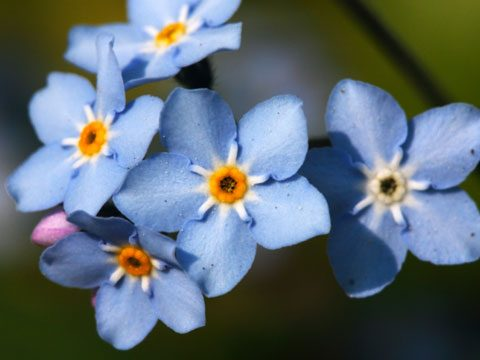 9 Best Flowers for Garden Design   Reader s Digest Add clouds of color to your garden with a patch of tiny azure blue flowers   They thrive in dry shade  conditions that can be particularly difficult