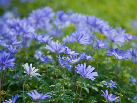 9 Best Flowers for Garden Design   Reader s Digest Also known as the winter windflower  Anemone Blanda Blue thrives in partial  shade  Its purply blue  daisy like flowers will add a festive touch to your