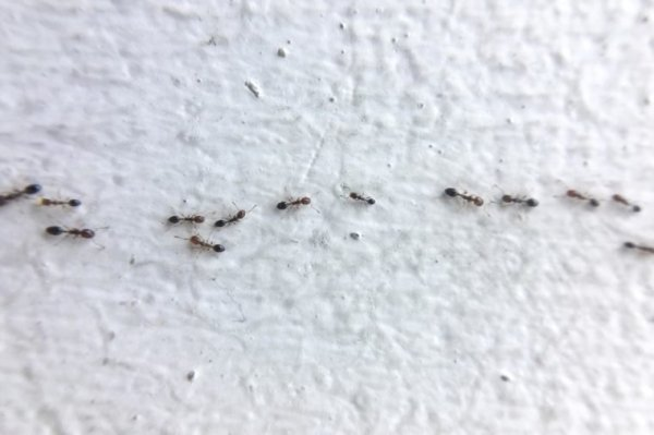 Ant Control Tips to Get Rid of Ants (Without an ...