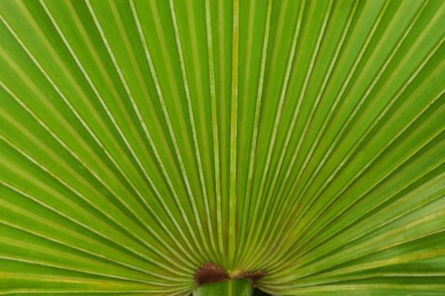 Close up of a saw palmetto frond
