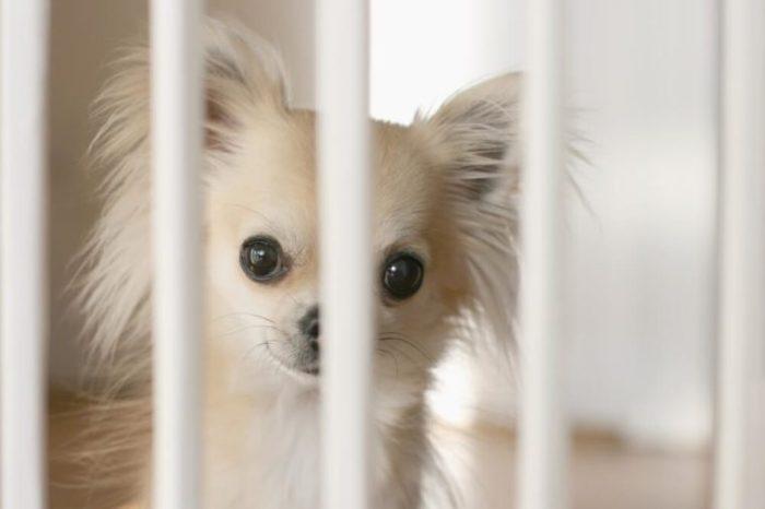 Pequeno, chihuahua, cão, esperando, atrás, indoor, cão, cerca, madeira, chão