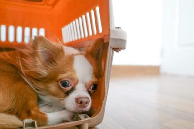 Chihuahua assustada em sua caixa.