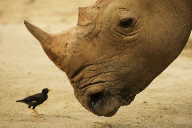 Closeup of rhinoceros with its tickbird