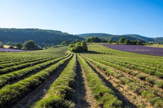 Production of lavender in Sault France Europe