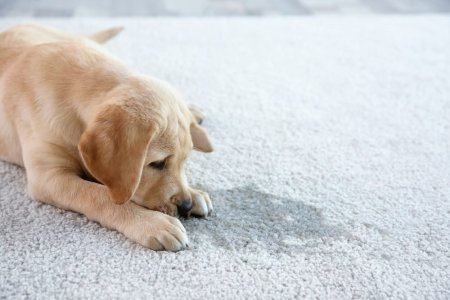 Household Vinegar Uses You Never Knew   Reader s Digest Cute puppy lying on carpet near wet spot