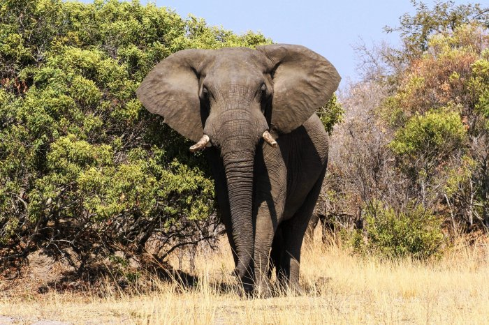 Loxodonta africana) african forest (scientific classification: Stunning Photos Of Elephants In The Wild Reader S Digest