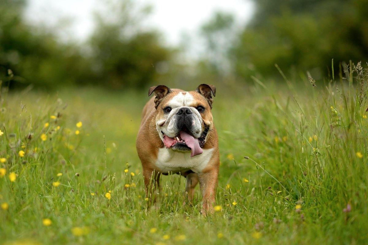 English bulldog on a meadow