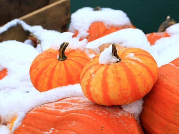 Pumpkins in the snow