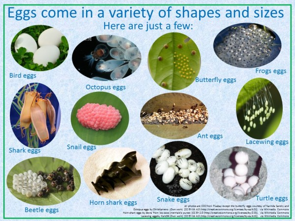 eggs come in a variety of shapes and sizes