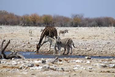 Die Zebras helfen als Wachen aus, während die Giraffe säuft.