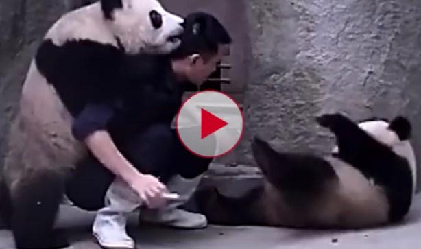 Playful Panda's Won't take their medicine.
