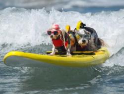 В американском штате Калифорния прошли 14-е ежегодные соревнования по собачьему серфингу.  Фото Mike Blake.