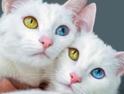 Полная гетерохромия у кошки: голубой глаз и жёлтый глаз