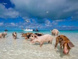 Райское место на Багамах принадлежит свиньям