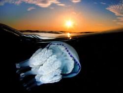 Испанский фотограф Jordi Benitez Castells сделал в Каталонии невероятные снимки, которые позволяют рассмотреть медузу во всей ее красе.