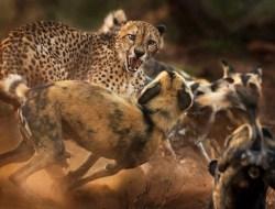 Гепард отбивается от стаи диких собак. (Фото Peter Haygarth)