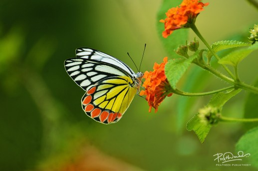 The Common Jezebel, photo shot by Pratheek Punjathody
