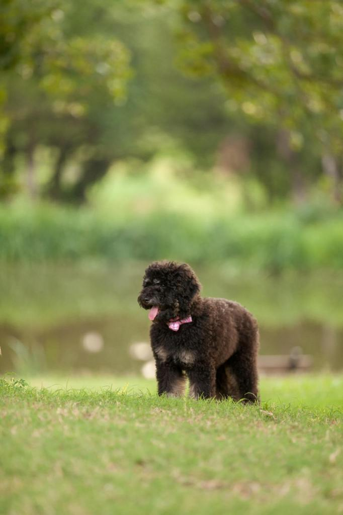 Read Remark - Lulu Bernice the Bernedoodle