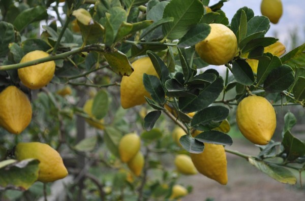 Image result for etrog