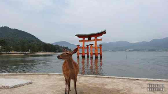 Jelonki w Miyajima, Brama Torii pod Itsukushima Shrine