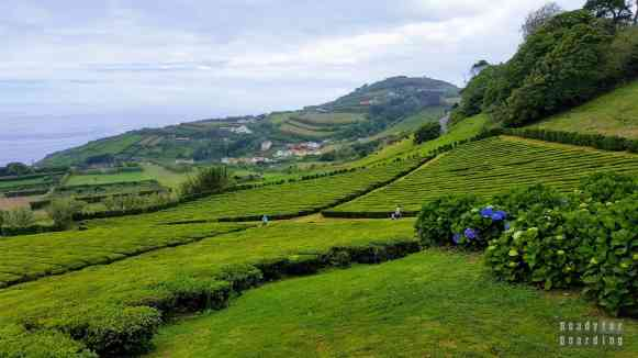 Plantacja herbaty w Porto Formoso - São Miguel, Azory