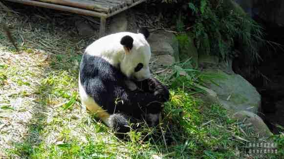 Panda w River Safari, Singapur
