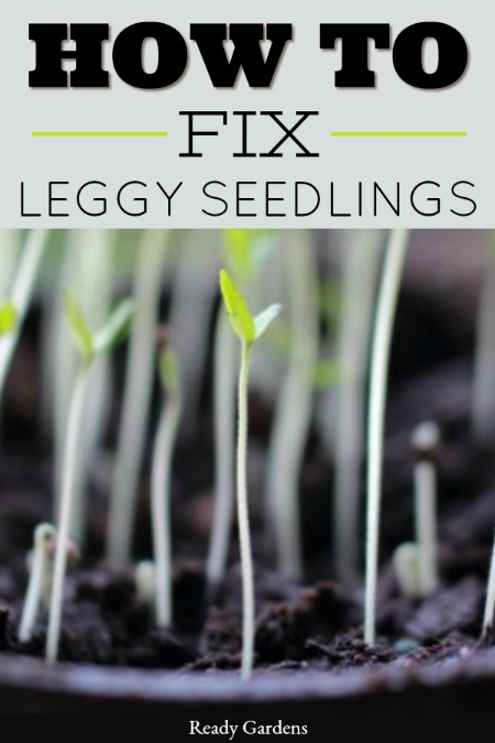 There is nothing more satisfying than getting to watch your newly planted seeds begin to emerge from the dirt. After one week goes by, you will begin to notice your seedlings are getting leggy and barely able to hold themselves up, If that happens, this guide will help you understand what went wrong and how to fix it. #ReadyGardens #GardenTips #GrowYourOwn #Gardening
