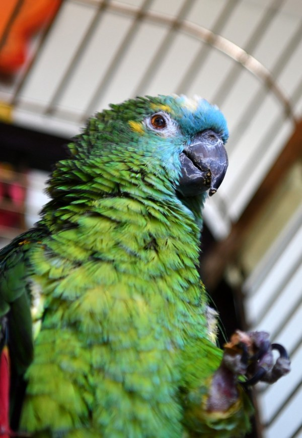 A long-lost parrot turned up… 45 years later and 500 miles ...
