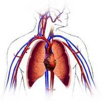 image of the cardio-vascular system