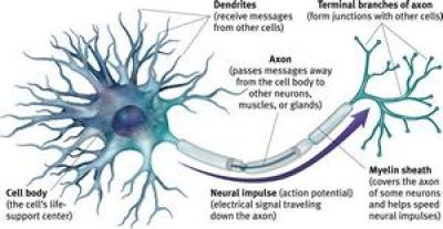 brain cells, also called neurons, share information via chemical neurotransmitters.