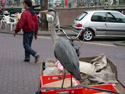 Grey heron in Amsterdam