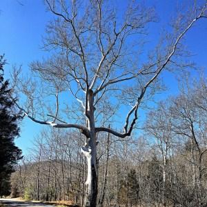 Sugar Hollow tree