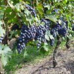 Stagnari Winery