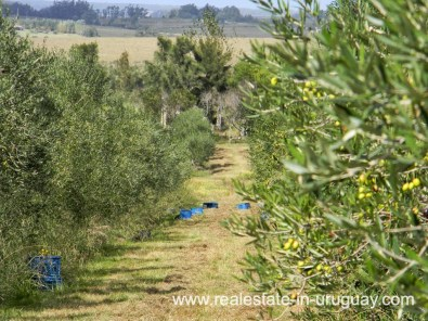 Olives of Farm with 95 Hectares just 15 Minutes from Jose Ignacio