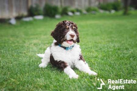 Adorable Bernedoodle puppy laying on grass